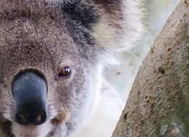 Koala discovery walk's thumbnail image