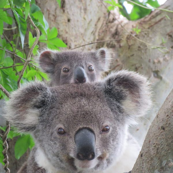 Koala discovery walk's main gallery image