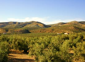 Olive Oil in Andalusia 's thumbnail image