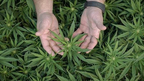 best dispensary two hands cradling a cannabis plant
