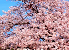 """Cherry Blossom Season """"Hanami"""" Online Experience's thumbnail image"""