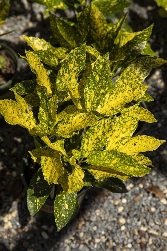 Gold Dust Aucuba