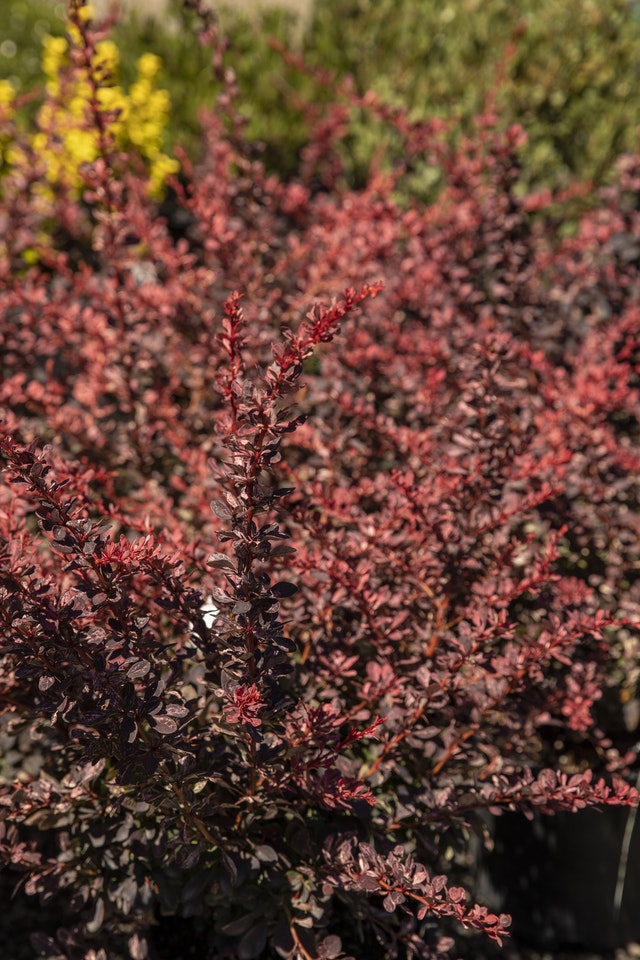Rosy Glow Barberry